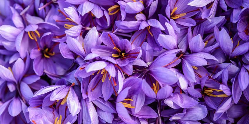 10 facts about saffron